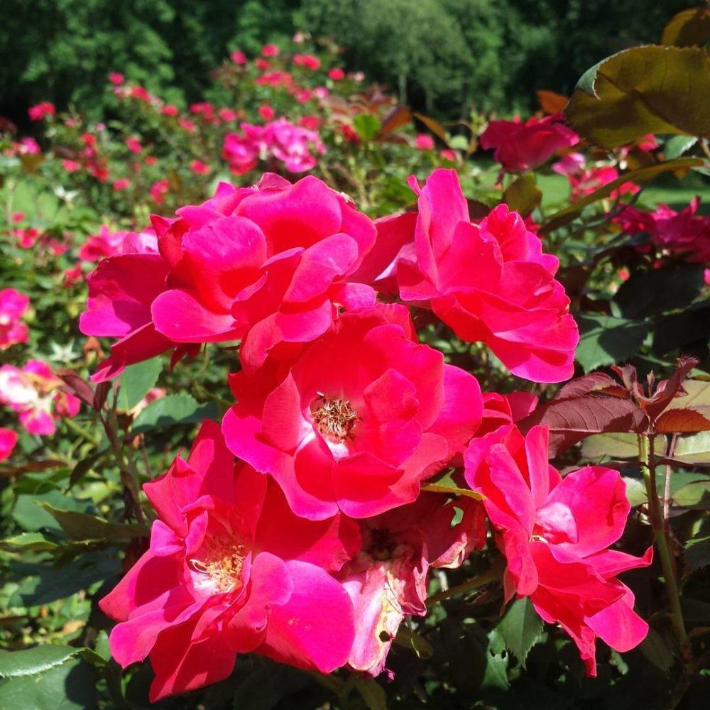 june in the garden u2013 basil u0026 roses